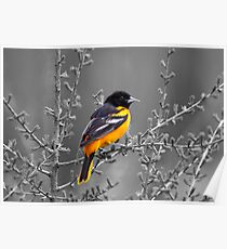 Baltimore Oriole Selective Coloring Poster