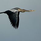 Blue Heron in Flight by Margaret  Shark