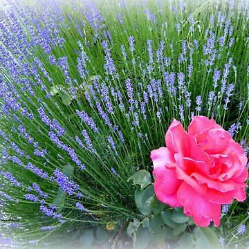 Lavender and Rose by Sita