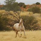 Brumby Mare by Clare101