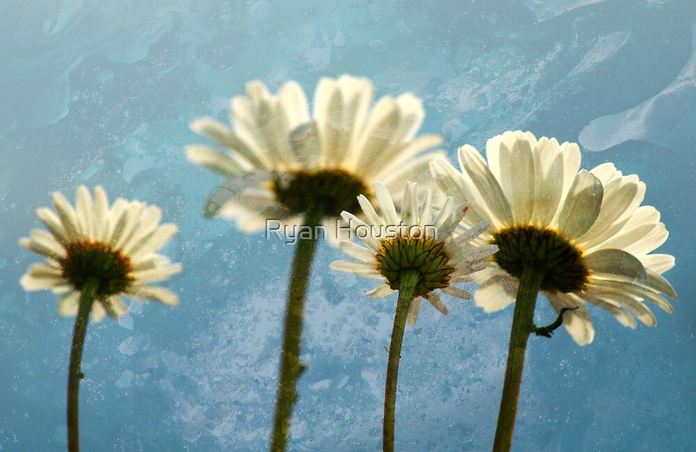 Daisies - Reach for the Sky by Ryan Houston