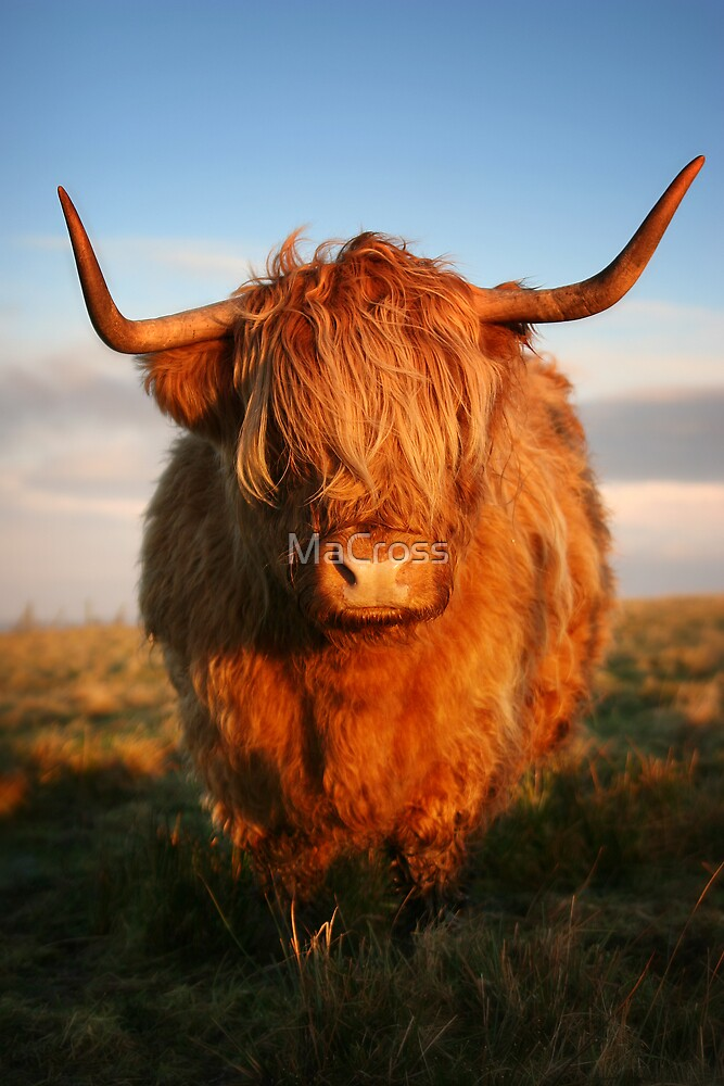 Highland Cow by Martina Cross