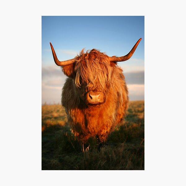 Highland Cow Fotodruck