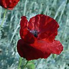 Poppy by qshaq