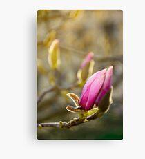 purple flowers of magnolia tree blossom Canvas Print