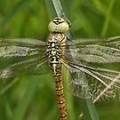 Aeshna affinis by DragonflyHunter