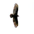 Red Headed Vulture by Claire Renaud