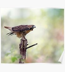 Red-tailed hawk (Buteo jamaicensis) sitting on a tree Poster