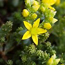 Biting Stonecrop (Sedum acre) by Steve Chilton
