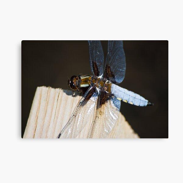 Broad-bodied Chaser (Libellula depressa) Canvas Print