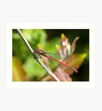 Large Red Damselfly (Pyrrhosoma nymphula) Art Print