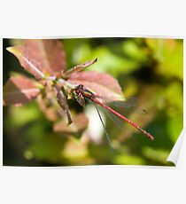 Large Red Damselfly (Pyrrhosoma nymphula) Poster
