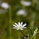 Lesser Stitchwort (Stellaria graminea) by Steve Chilton
