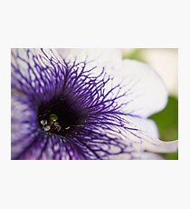 Purple-veined Petunia Photographic Print