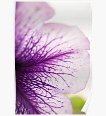 Purple-veined Petunia Petal Poster