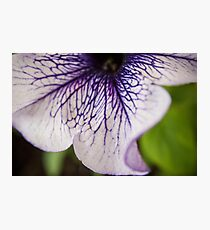 Bottom Purple-veined Petunia Petal Photographic Print