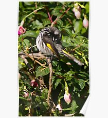 Yoga - New Holland Honeyeater Poster