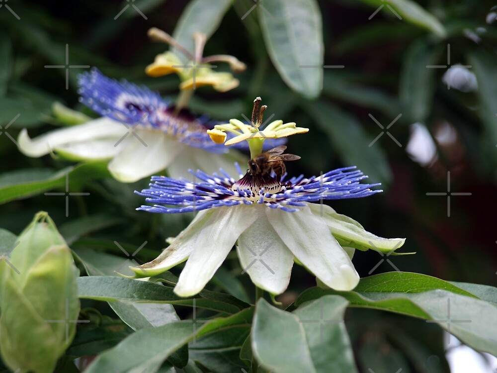 Passion Flower Bee by Aimee Wilson