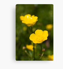 Meadow Buttercup (Ranunculus acris) Canvas Print