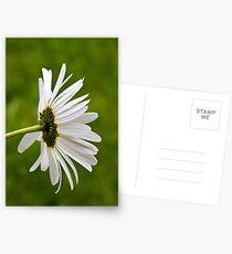Oxeye Daisy (Leucanthemum vulgare) Postcards