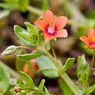 Scarlet Pimpernel (Anagallis arvensis) by Steve Chilton