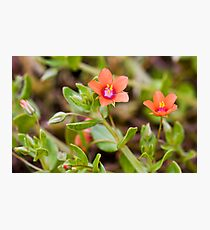 Scarlet Pimpernel (Anagallis arvensis) Photographic Print