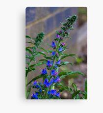 Viper's Bugloss (Echium vulgare) Canvas Print
