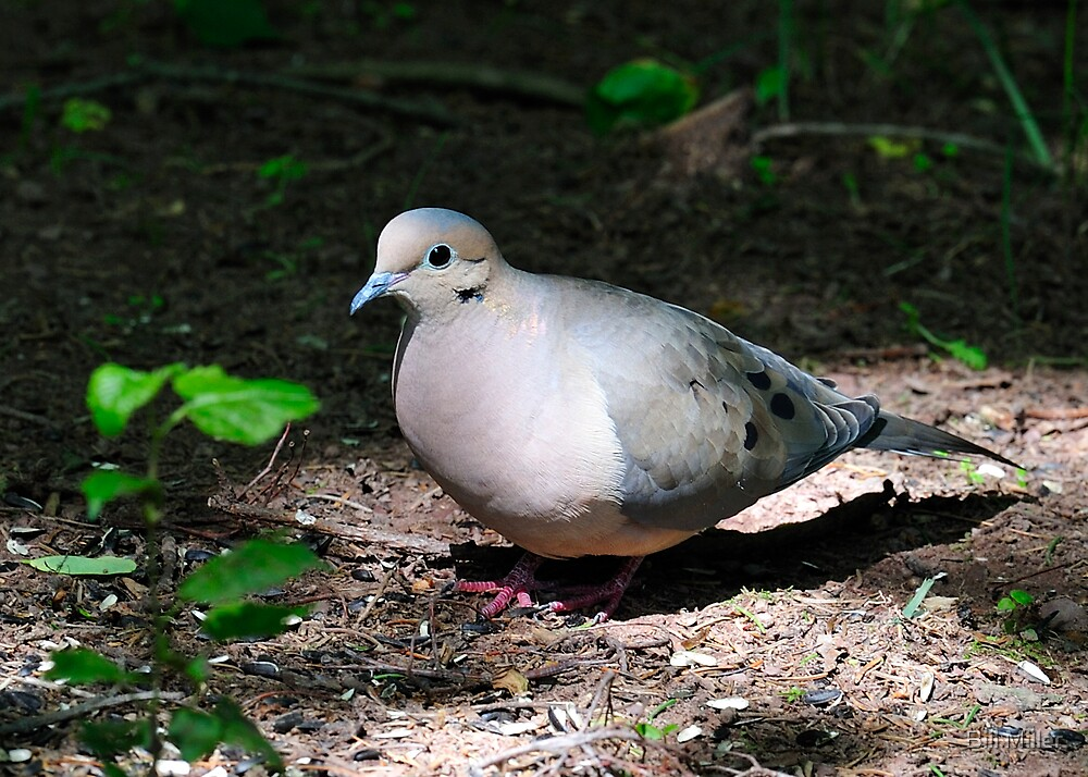 Mourning Dove by Bill Miller