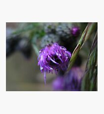 Photo close up thistle Photographic Print