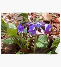 """Pulmonaria or """"Lungwort"""" Poster"""