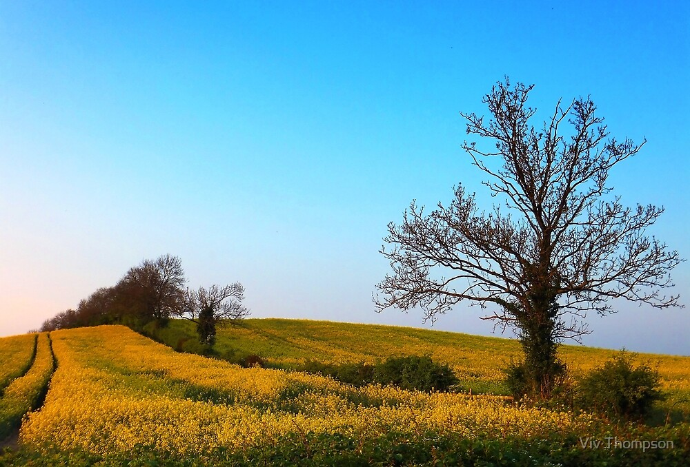 Oilseed Rape in Oxfordshire by Viv Thompson