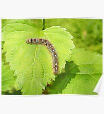 Tent Caterpillar Poster