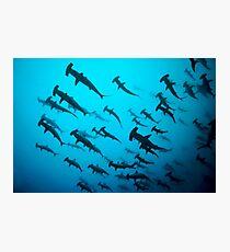 Hammerhaie Fotodruck