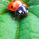 Ladybird by SwampDogPhoto