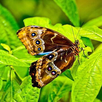 Rare Blue Morpho Butterfly by ginawaltersdorf