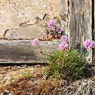 Cornish Thrift in an old wall in Mevagissey by Chris Warham