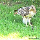 Red Tailed Hawk Snacking by CreatorsBeauty