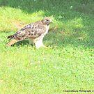 Red Tailed Hawk by CreatorsBeauty