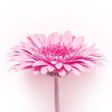 Pink gerbera by VanGalt