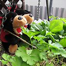 RnR gardening the spinach, tomatoes and herbs by georgiegirl