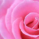 Rose Light... by LindaR