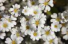Tiny Whites  by Elaine  Manley