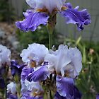 Amethyst Bearded Iris...... by DonnaMoore