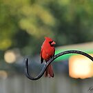 Northern Cardinal by Jeff Ore