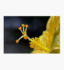 Closeup of the pistil of a perfect yellow Hibiscus flower Photographic Print