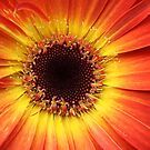 Orange Gerbera Daisy ~ Macro by SummerJade