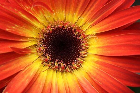 Orange Gerbera Daisy ~ Macro by SummerJade