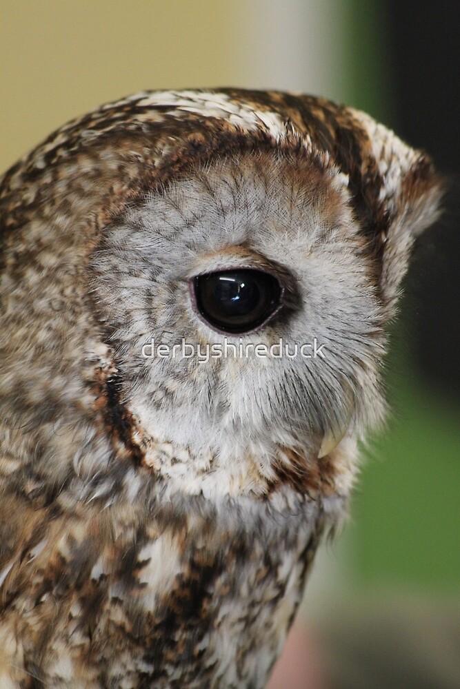 Tawny Owl by derbyshireduck