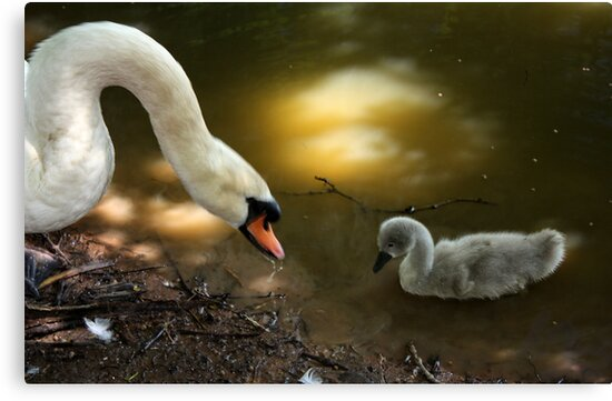 Ok Dad I will be Good !!! (Dad and Cygnet) by AnnDixon