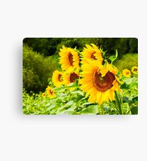 sunflower field in the mountains Canvas Print